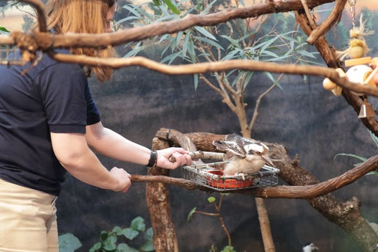 Amanda Ista, the Milwaukee County Zoo's wild connections keeper, places a laughing kookaburra named Dundee back in its exhibit.