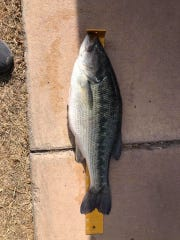 A bass found dead from alleged spearfishing, Feb. 17, 2020 at Lake Carlsbad.