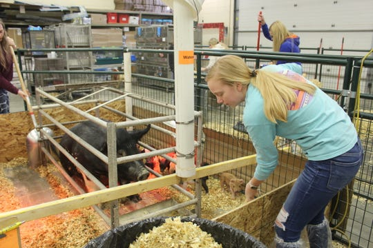 Serena Freriks, chapter president for Waupun FFA, has the pigs and is working with them now. She just hopes she gets to show them this summer.