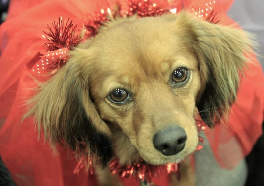 Won't you be mine? Rebel, dressed in a tutu, makes eyes at last weekend's Valentine-themed Fur Ball at the Abilene Convention Center. Hundreds of dogs, and their human friends, attended the fundraiser for Rescue the Animals, SPCA.