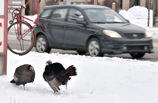 A pair of popular turkeys - nicknamed Hammer and Nails by a local lumber company, stand near Garfield Road in Traverse City on Wednesday, Feb. 19, 2020. The birds are frequently seen crossing busy highways and streets south of downtown Traverse City. They also have a Facebook page.