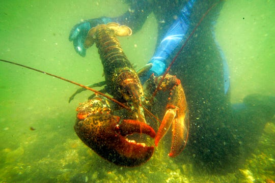 In this July 2007 file photo, a lobster scientist holds a 2-pound lobster underwater in a lobster pound on Friendship Long Island, Maine. Lobster Unlimited of Orono, headed by a longtime lobster scientist Robert Bayer, proposes to use compounds derived from lobster blood to improve human health and possibly the health of other mammals.