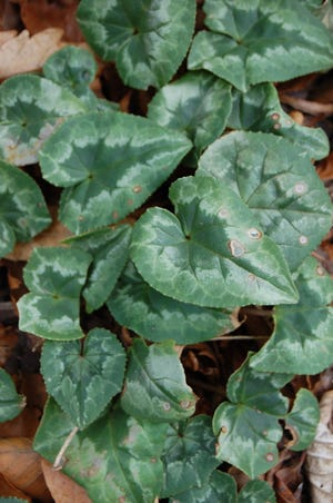 Winter foliage of Cyclamen coum - a spring-blooming, cold hardy plant that grows well in dry soils.