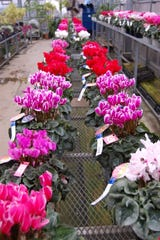 Florist cyclamen (Cyclamen persicum) won't survive outside in Kentucky but make excellent house plants