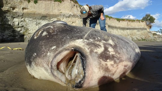 How a bizarre, monster fish hoodwinked researchers and reeled in a wave of citizen scientists