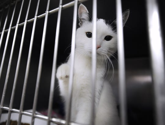 A black and white female cat peek through the bars as a volunteer cleans cages in the room at the Detroit Animal Care and Control facility in Detroit, Michigan on October 25, 2016.