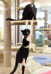 A young cat named Bippity reaches up towards his buddy, Boo, at the Dresner Foundation Adoption Center at the Michigan Humane Society Detroit Animal Care Campus in Detroit on June 13, 2016.