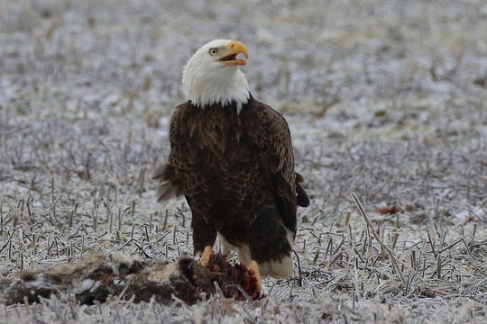 A 35-year-old Texas man appeared in federal court and admitted to killing a bald eagle in Bay City.
