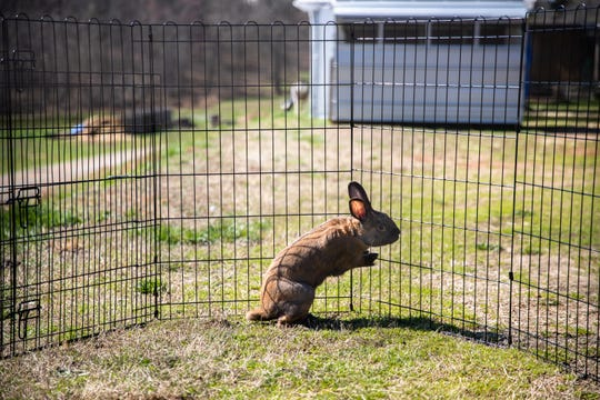 Graham Cracker, a rabbit rescued by the Bunny Brigade at Izzie's Pond in Liberty, Friday, February 21, 2020.
