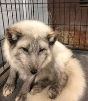 South Lyon police found this arctic fox when they responded to an injured dog complaint near the South Lyon High School.