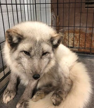 South Lyon police found this Arctic fox when they responded to an injured dog complaint near South Lyon High School.