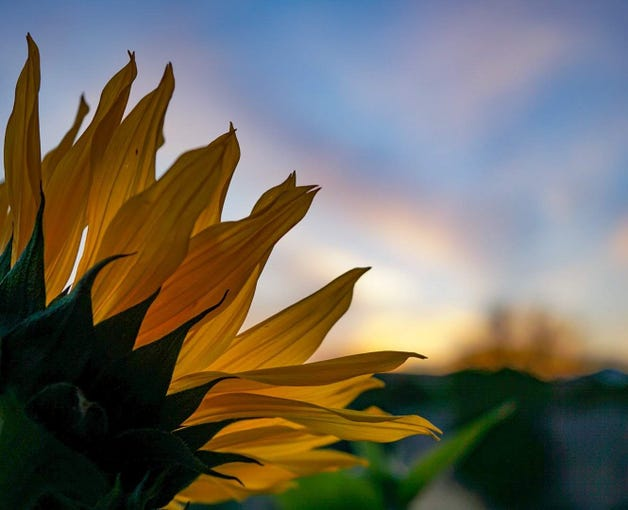 Sunflowers and Sunsets go well together.