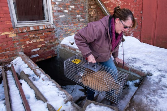 Carol Schmidt, president of the Sanilac County Humane Society, carries a trapped feral cat out of a building Friday, Feb. 21, 2020, in Croswell. The organization is working with the city of Croswell to potentially pay to have a bunch of cats captured and spayed and neutered due to a high number of feral cats in town.