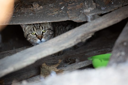 A stray cat looks out from underneath a building Friday, Feb. 21, 2020, in Croswell. The Sanilac County Humane Society is working with the city of Croswell to potentially pay to have a bunch of cats captured and spayed and neutered due to a high number of feral cats in town.