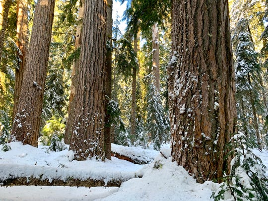 Snowshoes are required to explore Hackleman Old Growth Trail during winter in the Tombstone Pass area east of Sweet Home along Highway 20.