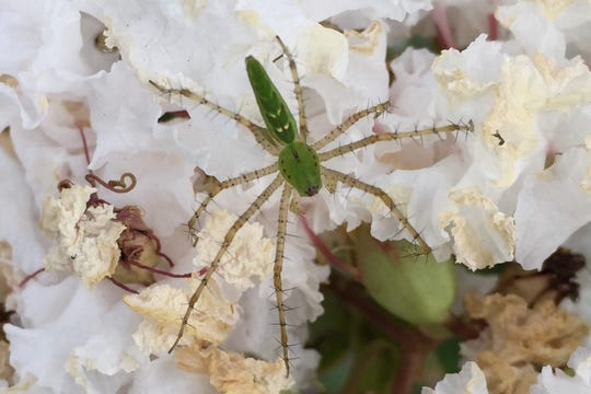 The vividly colored green lynx spider is a great example of a sit-and-wait predator as it dwells in the flowers of many native and nonnative plants, waiting for prey to land on the flower before they make their move.