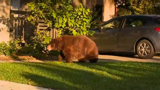 This image provided by KTTV FOX 11 shows a bear walking on the front yard of a home in Monrovia early Friday.  The bear sluggishly ambled along streets and into backyards in Monrovia, which sits on the foot of the San Gabriel Mountains.