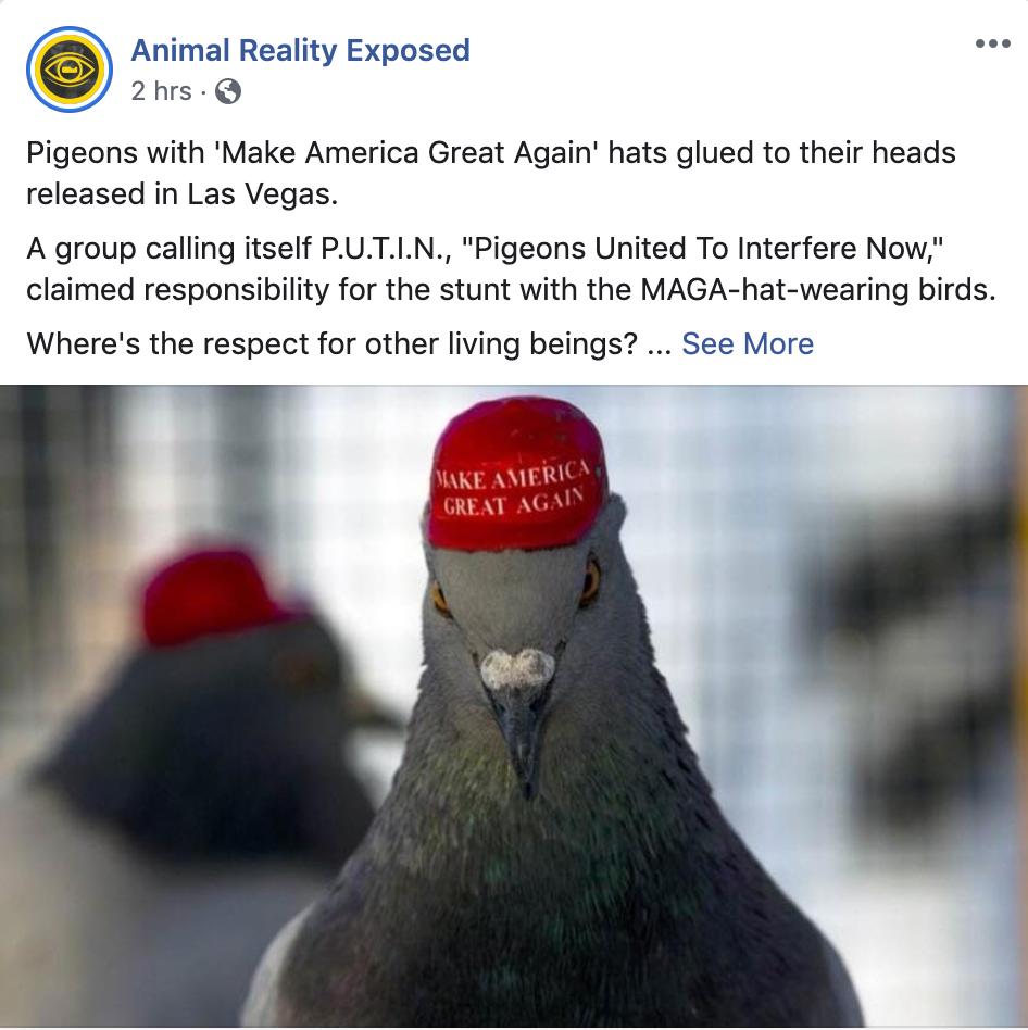 MAGA hats can harm Las Vegas pigeons. PETA says enough with the  stupid pranks.