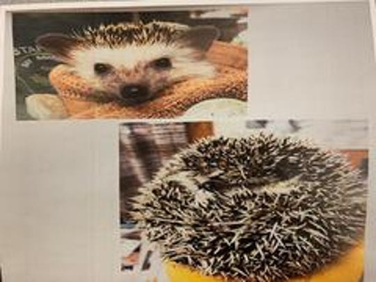 Green Bay police are investigating the theft of a 3-year-old hedgehog named Clover from the Green Bay Wildlife Sanctuary.