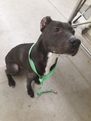 A female pitbull was found tied to a guardrail along Interstate 390 near Dansville, Livingston County this week. Call Livingston County Dog Control at (585)243-6740 if you recognize her.