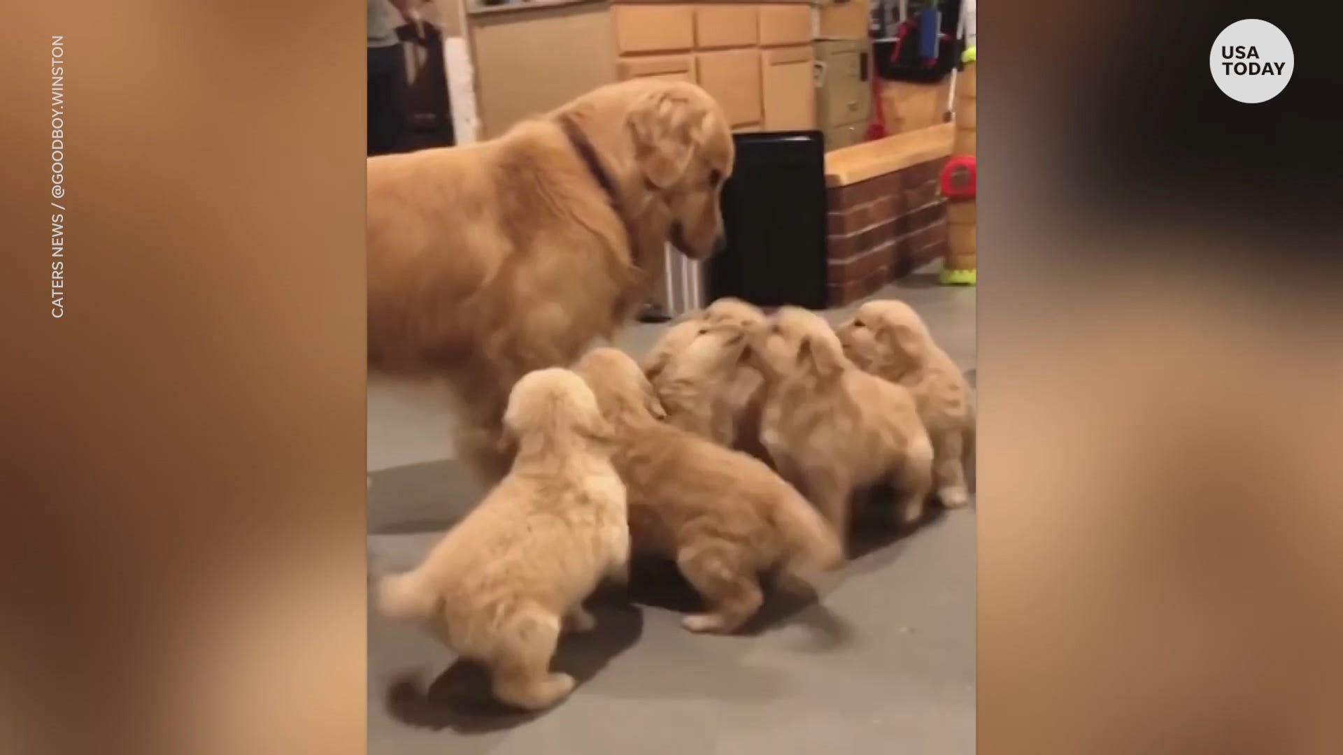 Golden retriever adorably attacked by a litter of puppies