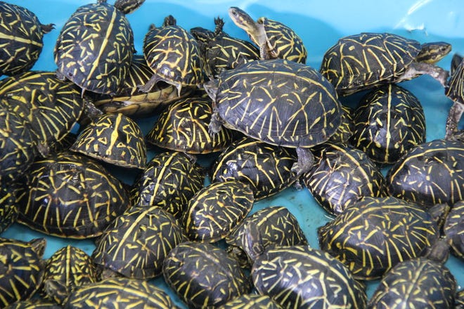 Turtles recovered by the Florida Fish and Wildlife Conservation Commission in 2019 after undercover Operation Donatello discovered an illegal turtle trafficking ring. [Provided by FWC]