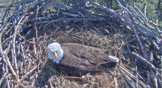 A little more than a month after an accidental poisoning took the life of an eaglet being raised in a North Fort Myers nest, the Southwest Florida eagle parents have produced a third egg. Above, Harriett sits on the egg Sunday morning.