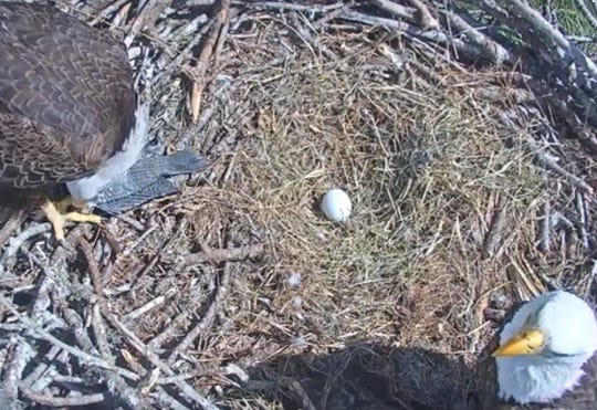 Harriet and M15, a productive eagle pair in North Fort Myers, feast on a large fish caught Sunday. The pair recently produced a third egg after an eaglet that hatched earlier died for an apparent poisoning.