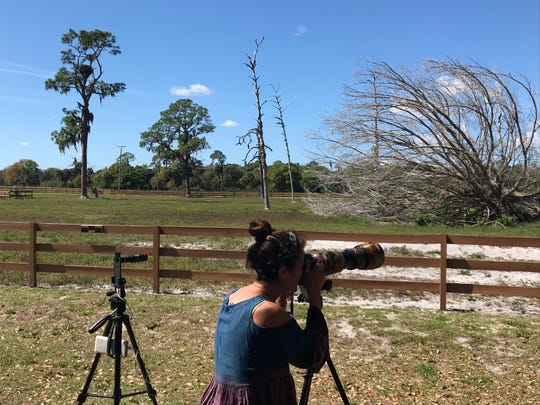 Marie Chism trains her camera on the field where Harriet and M15, a productive eagle pair in North Fort Myers. The pair recently produced a third egg after an eaglet that hatched earlier died for an apparent poisoning.
