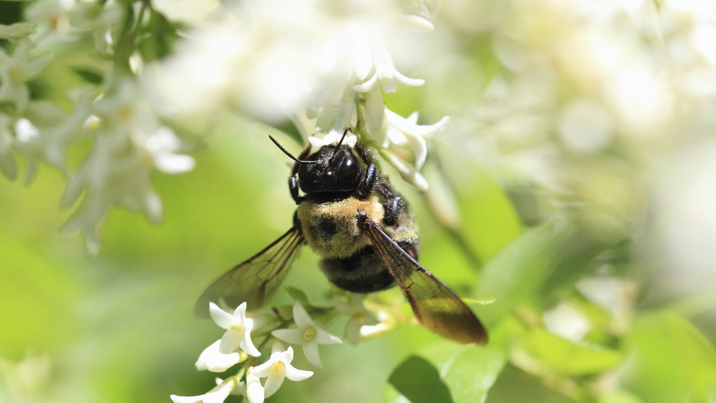 Appleton's bee population increases in abundance and diversity with No Mow May