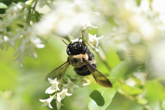 A mason bee gathers pollen.