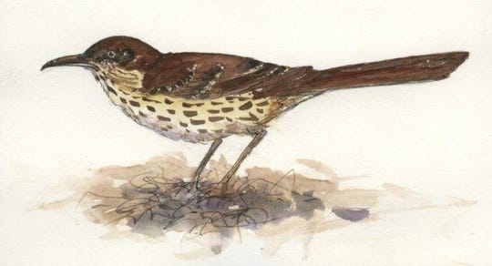 Like catbirds and mockingbirds, brown thrashers imitate the songs of other species.