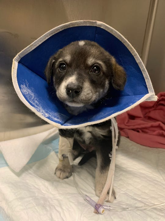 Casanova is a Border Collie mix, 6-week-old puppy who contracted parvovirus. He is in stable condition as of Monday, Feb. 24, 2020.