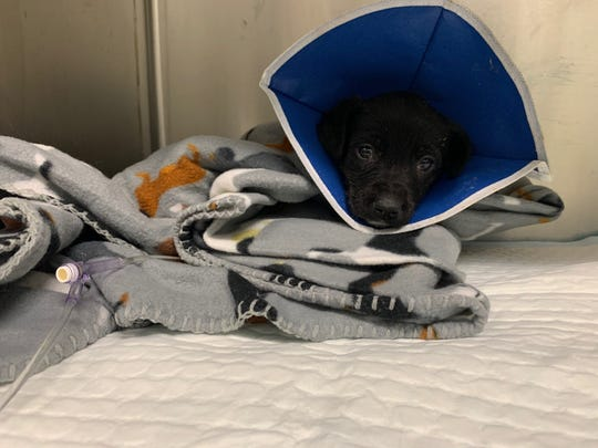 Archer is a Border Collie mix, 6-week-old puppy who contracted parvovirus. He is in stable condition as of Monday, Feb. 24, 2020.