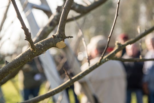 Pruning apple trees appropriately will give you better crops.