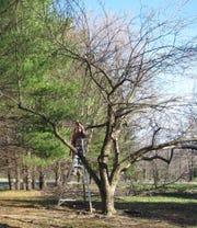 A worker prunes an apple tree.