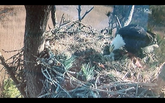 The refuge cam caught the bald eagle feeding the new -born chick at Chincoteague National Wildlife Refuge.