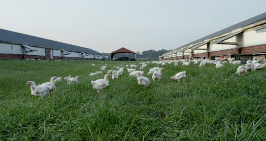 Perdue Farms chickens raised with outdoor access