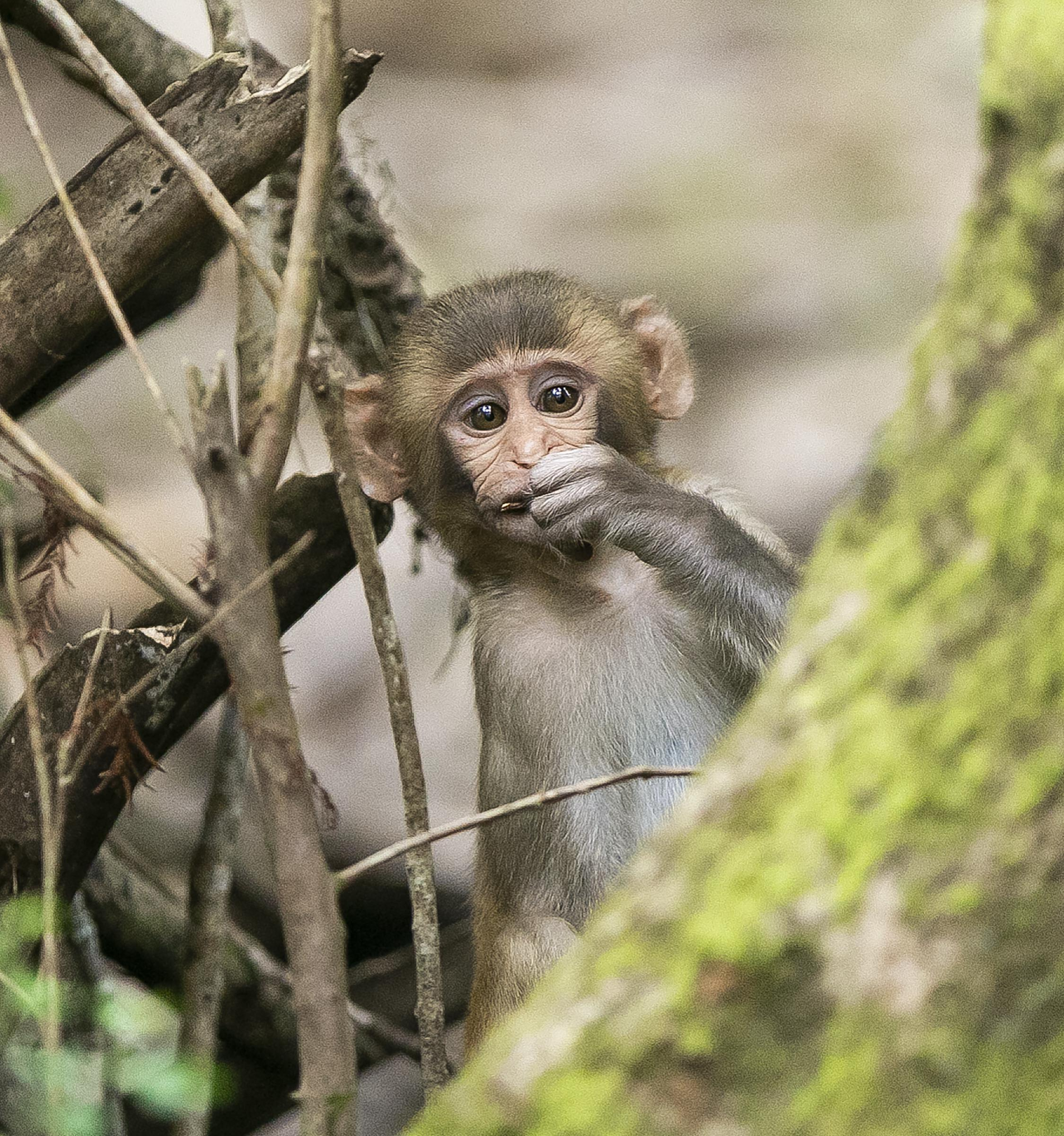 Herpes-carrying monkeys brought to Florida for tourism may multiply out of control