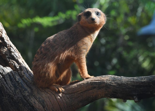 A meerkat at Brevard Zoo in Viera.