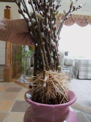 Here is what can happen if you choose to cut pussy willow nowand bring it in for an early burst of spring. Branches yielded ripened catkins from tight brown-cappedbuds and developed roots.