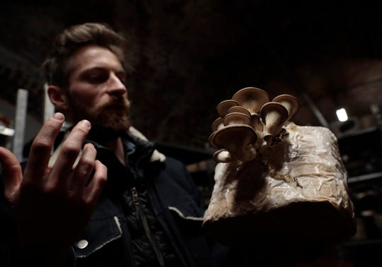 Quentin Declerck, from Le Champignon de Bruxelles, holds a variety of mushroom growing in a substrate at the company's urban farm in the cellars of Cureghem in Brussels.