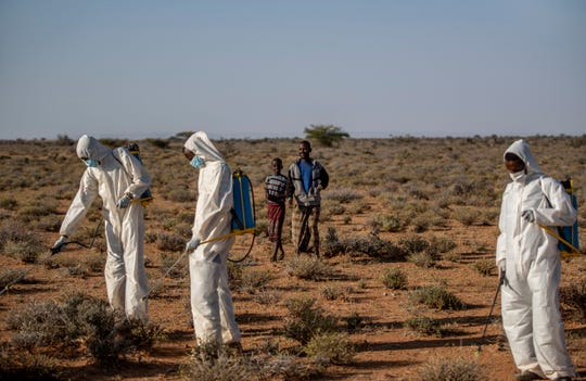 In this photo taken Tuesday, Feb. 4, 2020, Somali pest-control sprayers demonstrate their work on the thorny bushes in the desert that is the breeding ground of desert locusts for a visiting delegation of Somali ministry officials and experts from the Food and Agriculture Organization (FAO), in the desert near Garowe, in the semi-autonomous Puntland region of Somalia.