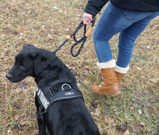 """Olive wears an """"IN TRAINING"""" harness when she's out and about so that the public knows she's working on becoming an emotional support dog."""