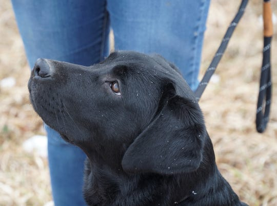 Olive the seven month old Labrador retriever from Highland's Green Acres Labs.