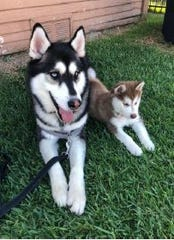 Lobo (left) the Siberian Husky died on Sunday, Feb. 23, after South Lake Tahoe Police and bystanders rescued him from drowning.