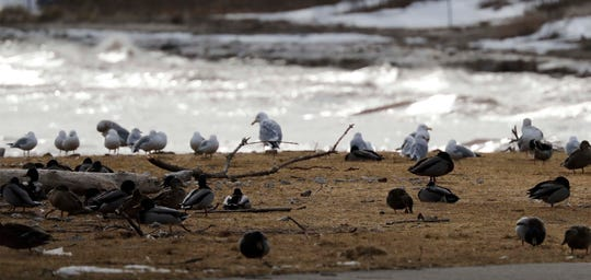 Seagulls and ducks wait out the waves on shore near Deland Park.