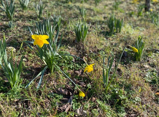 Daffodils blooming in Charlottesville on Feb. 23, 2020.