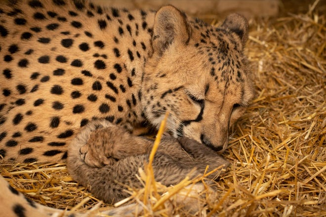 A cheetah surrogate mother licks the two cubs she bore at the Columbus Zoo and Aquarium. [Grahm S. Jones/Columbus Zoo and Aquarium]