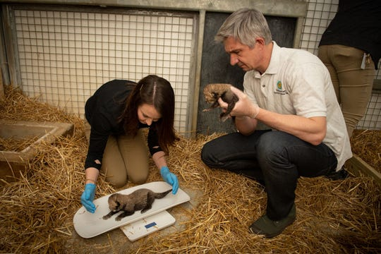 Columbus Zoo and Aquarium employees weigh one of two cheetah cubs recently born at the zoo. [Grahm S. Jones/Columbus Zoo and Aquarium]